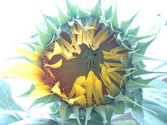 Sunflower #0 by Stephen Oravec
